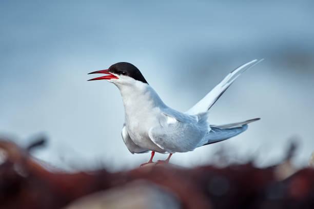 Elegant Arctic tern (Sterna paradisaea) sitting on the coast of Varanger fjord. Bird in natural habitat. stock photo