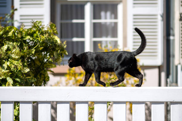 elegant black cat walking on a white fence sunny weather Side view of sweet young fit elegant black cat walking on a white fence sunny weather - house window in background black cat stock pictures, royalty-free photos & images