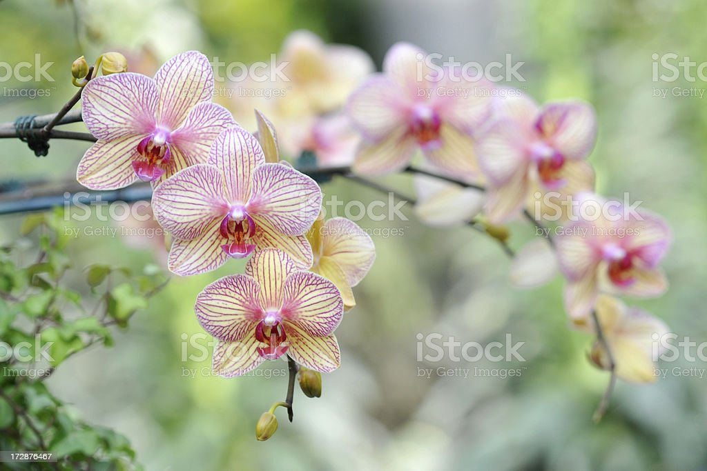 Elegant Blooming Orchids royalty-free stock photo