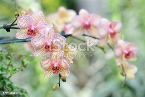 Elegant orchids in blossom
