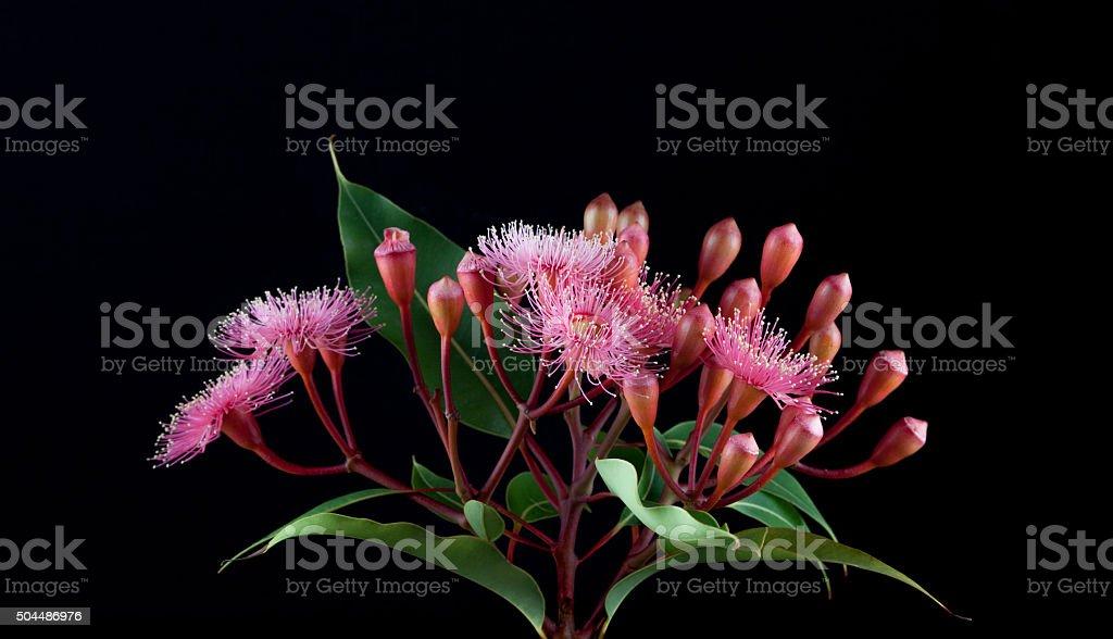 Elegant bouquet of pink Eucalyptus flowers isolated on black bac stock photo