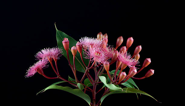 Elegant bouquet of pink Eucalyptus flowers isolated on black bac stock photo