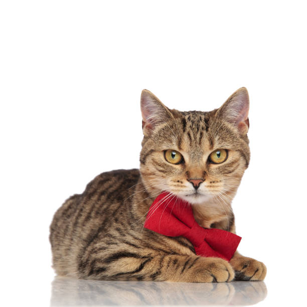 Elegant british fold cat with red bowtie lying picture id968939996?b=1&k=6&m=968939996&s=612x612&w=0&h=hp wrwq4kw  aze cjypdf4wom2ki9c2ygd syrndgm=