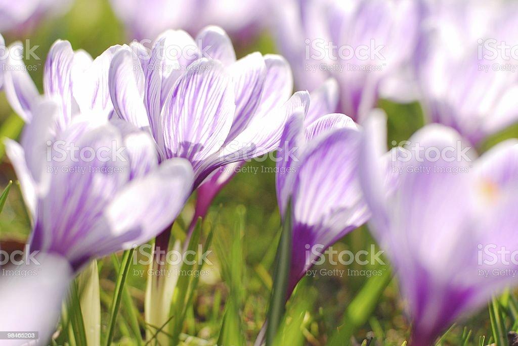 Elegante in primavera Croco foto stock royalty-free