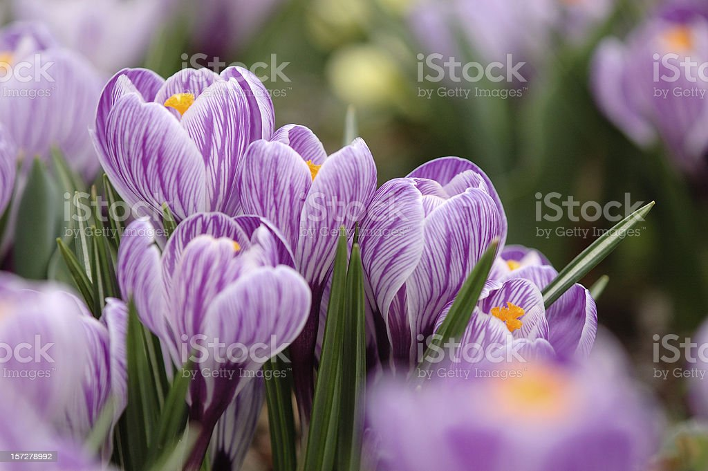 Elegant Crocus stock photo