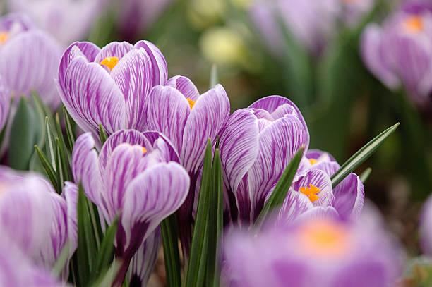 Elegant Crocus  plant bulb stock pictures, royalty-free photos & images