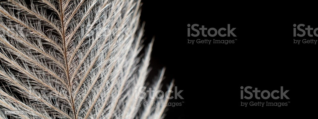 Elegant Feather on black Extreme Close up Detail. stock photo