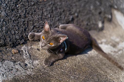 Elegant Grey cat chilling on the road at Phuket, Thailand