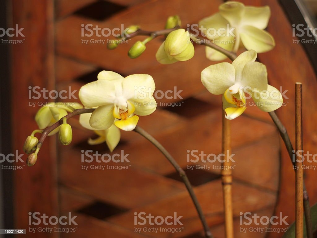 elegant orchid blooming stock photo