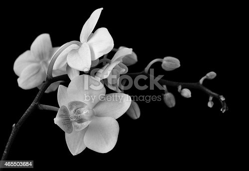 A monochromatic depiction of white Orchids, photographed on a matte dark background.
