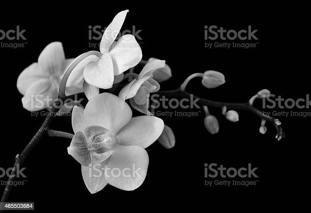 Elegant orchids black and white image picture id465503684?b=1&k=6&m=465503684&s=612x612&h=dfpm1gzrmhpgli qqs kvc1 qunoaibzgoyyrdjfg5a=
