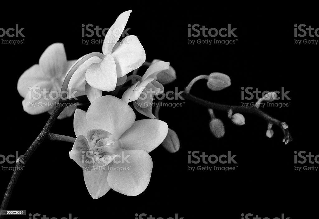 orchidee blanche sur fond noir