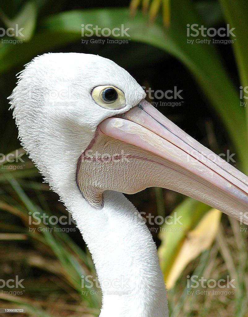 Elegant Pelican royalty-free stock photo