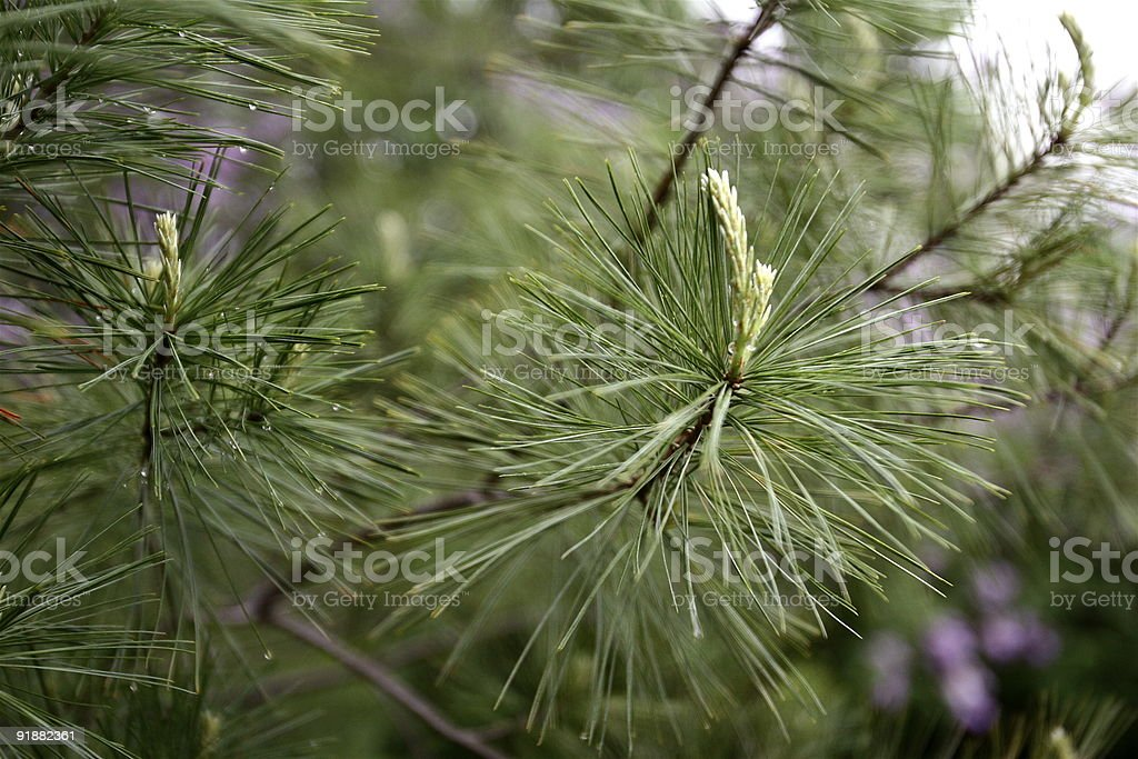 Elegant Pine Needles royalty-free stock photo