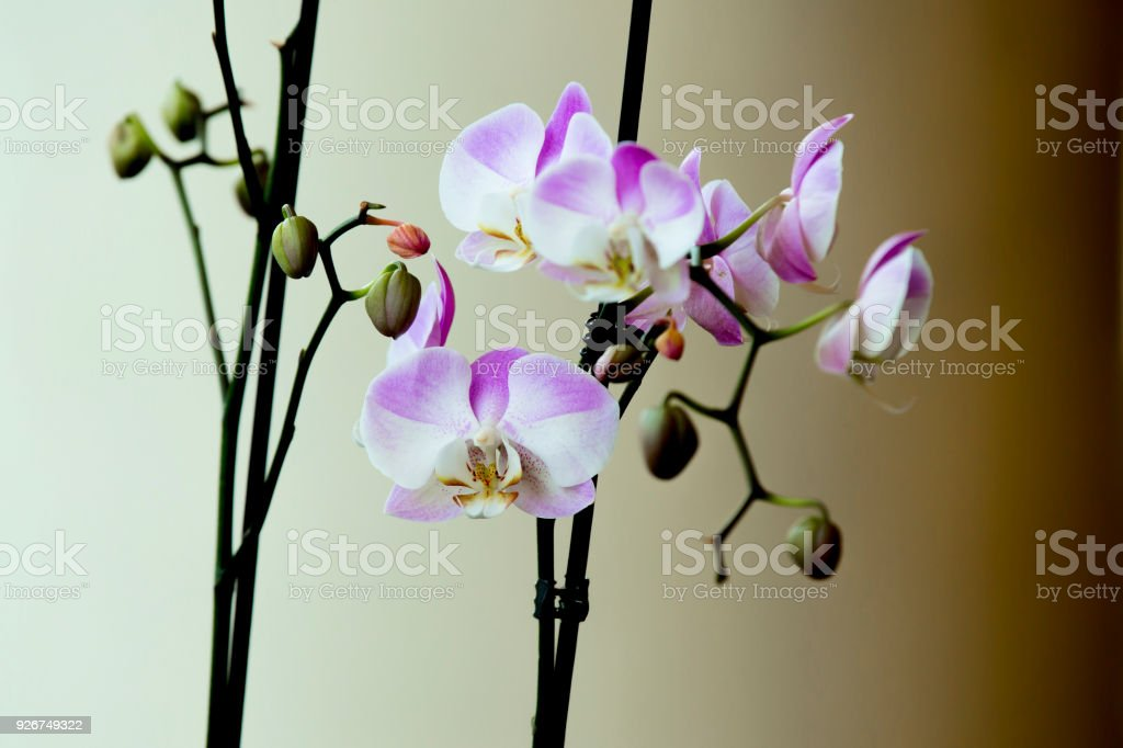 Elegant pink and white orchids isolated on black background, selective focus stock photo