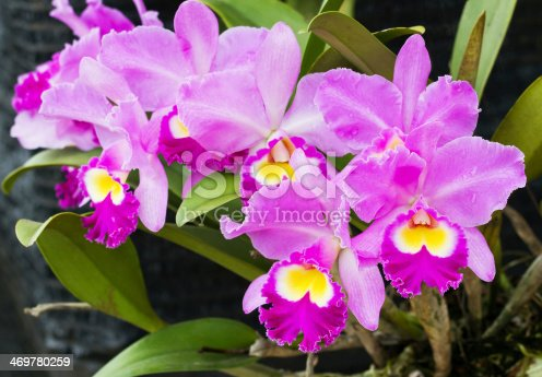 Elegant pink, yellow and white orchids blossom in garden; close up (Catleya)