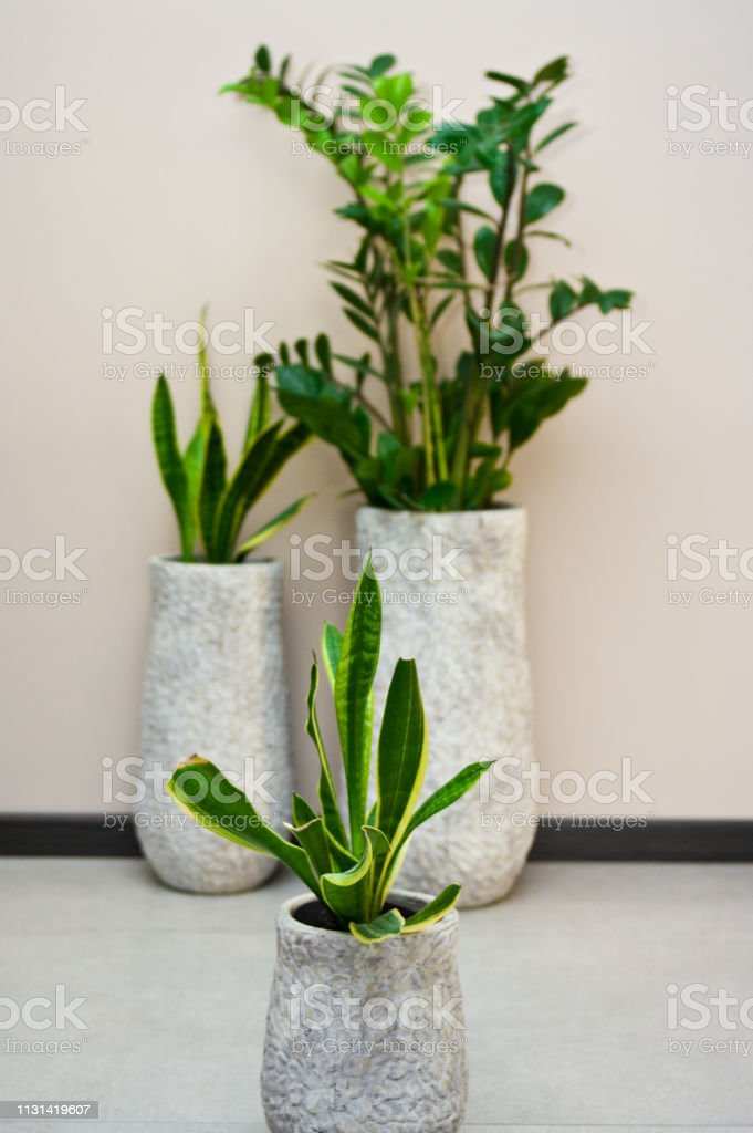 Elegant Pot Plants In Clay Pots Home Decoration Zamia Stock ...