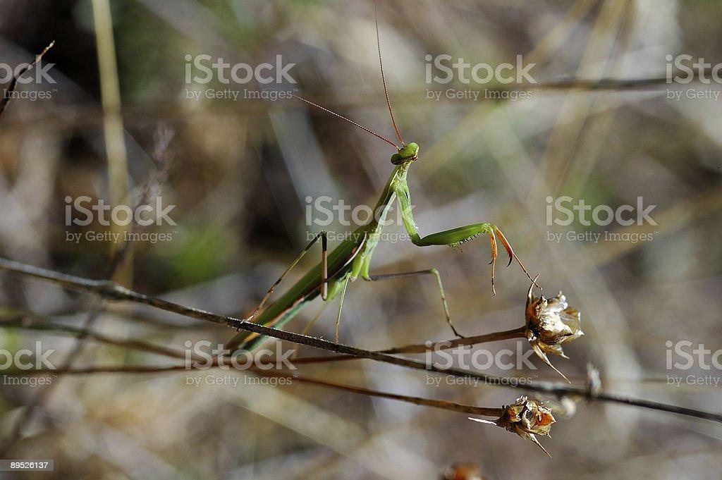 Elegant Praying Mantis royalty-free stock photo