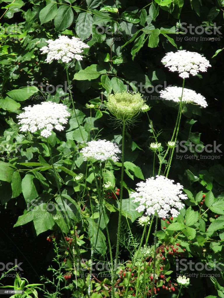 Elegant Queen Anne's Lace with Red Berries stock photo