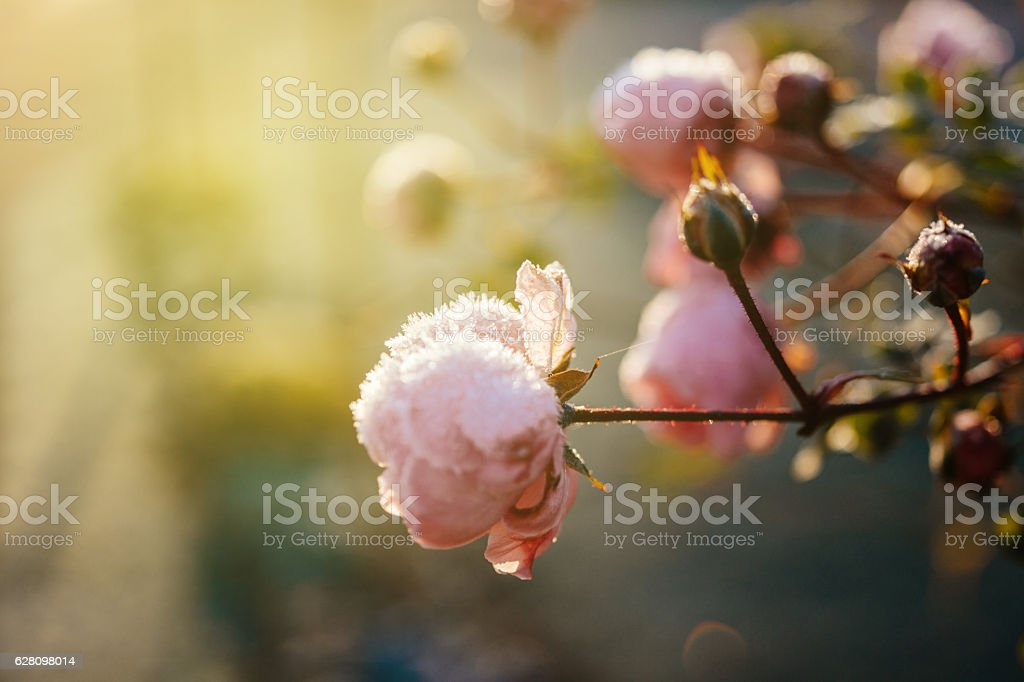 Elegant rose blossom covered with ice snowflakes stock photo