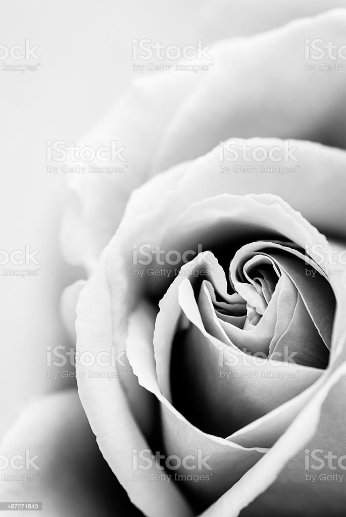 Elegant Rose closeup in black and white stock photo