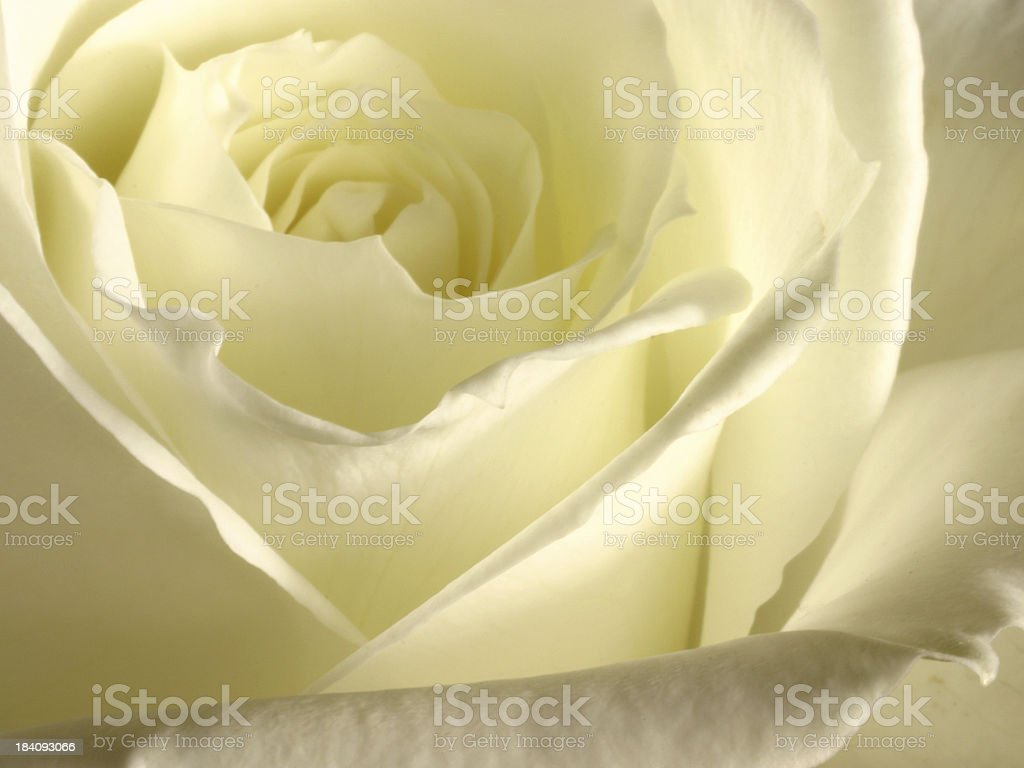Elegant Rose royalty-free stock photo