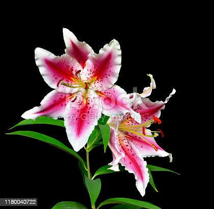 Two elegant spotted pink liliy flowers with white wavy edges of petals close-up isolated on a black background