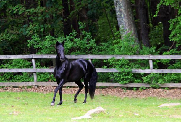 elegante haltung andalusischen/saddlebred kreuz pferd - andalusier pferd stock-fotos und bilder
