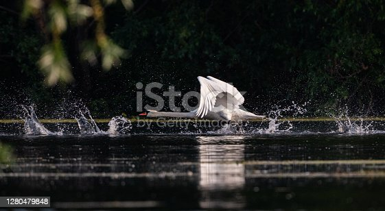 Panoramic view of a white swan swimming above the pond.