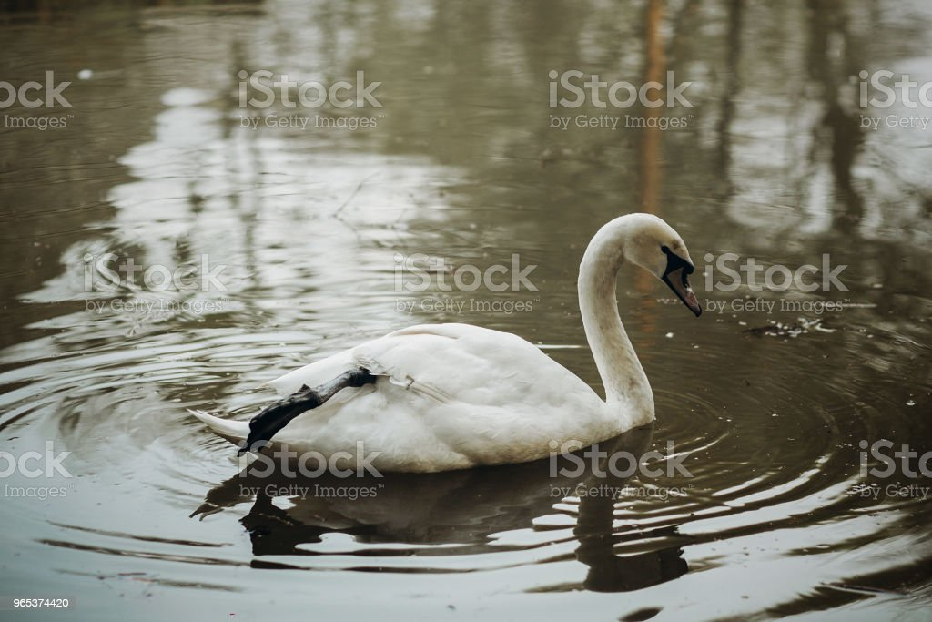 Elegant swan swimming in a forest lake, wildlife scene - white swan bird in a pond close-up - water reflection, nature concept zbiór zdjęć royalty-free