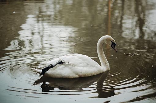 숲의 호수 야생 동물 장면연못 클로즈업에 흰 백조 조류물 반사 자연 개념에서 수영 하는 우아한 백조 가을에 대한 스톡 사진 및 기타 이미지