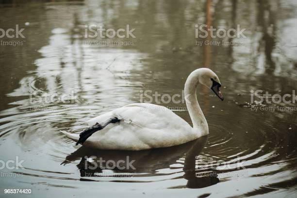 Elegancki Łabędź Pływanie W Leśnym Jeziorze Scena Dzikiej Przyrody Biały Łabędź Ptak W Stawie Z Bliska Odbicie Wody Koncepcja Natury - zdjęcia stockowe i więcej obrazów Bajka