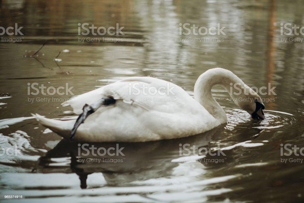 優雅的天鵝在森林湖泊中游泳, 野生動物場景-白色天鵝鳥在池塘特寫水反射, 自然概念 - 免版稅光圖庫照片