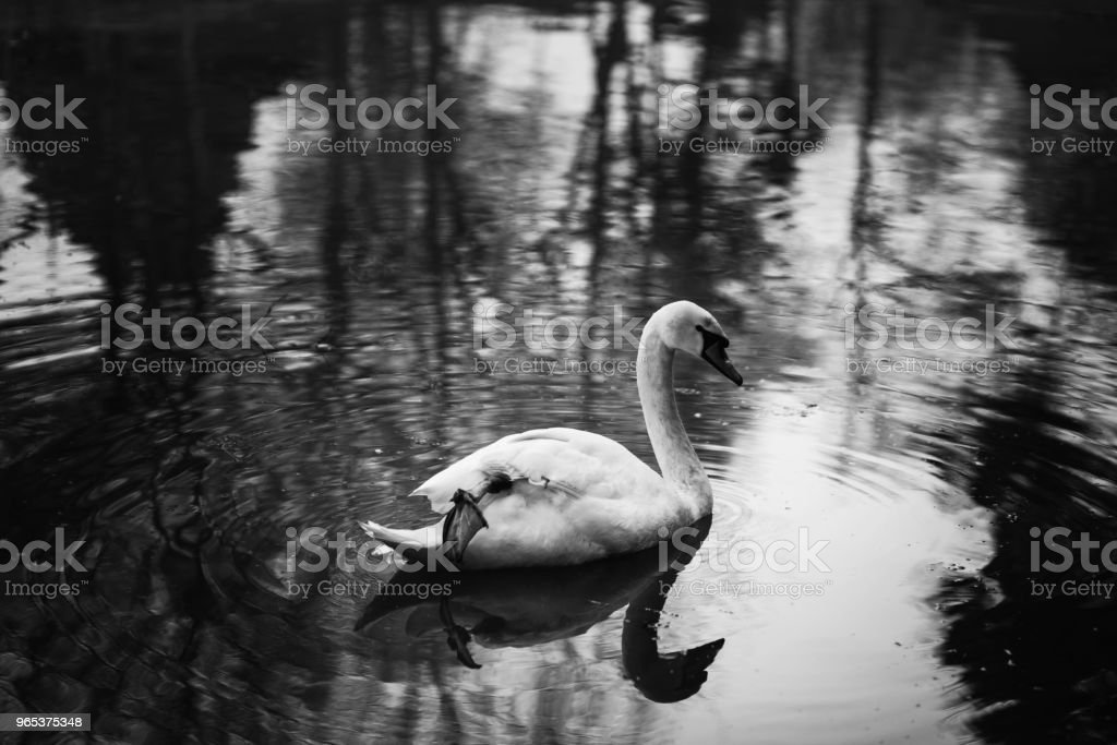 Elegant swan swimming in a forest lake, wildlife scene - white swan bird in a pond close-up - water reflection, nature concept royalty-free stock photo