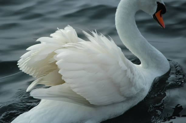 Elegant swan with white plumage in the lake - foto stock