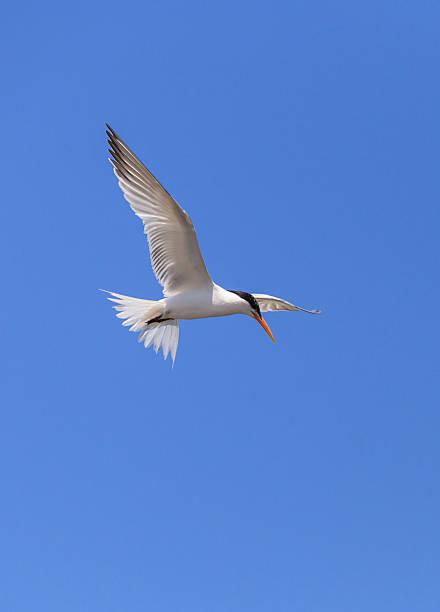 Elegant tern, Thalasseus elegans Elegant tern, Thalasseus elegans, flying across a blue sky in search of fish in Huntington Beach, Southern California caenorhabditis elegans stock pictures, royalty-free photos & images