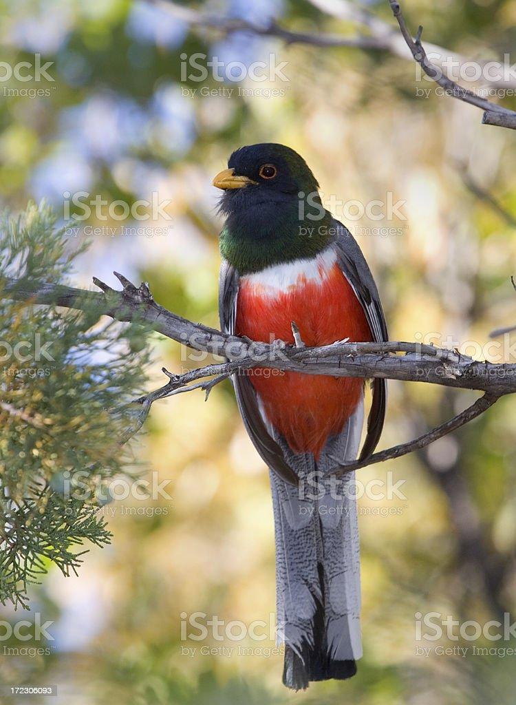 Elegant Trogon, Rare bird in Arizona royalty-free stock photo