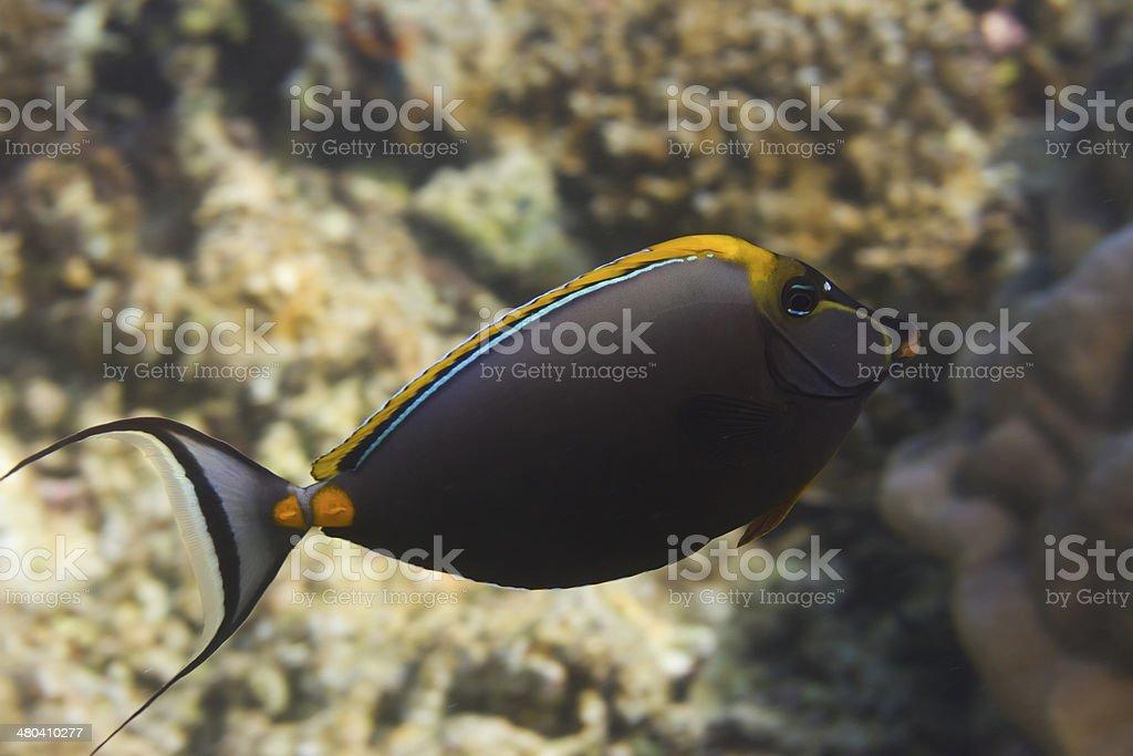 Elegant unicornfish (Naso elegans) stock photo