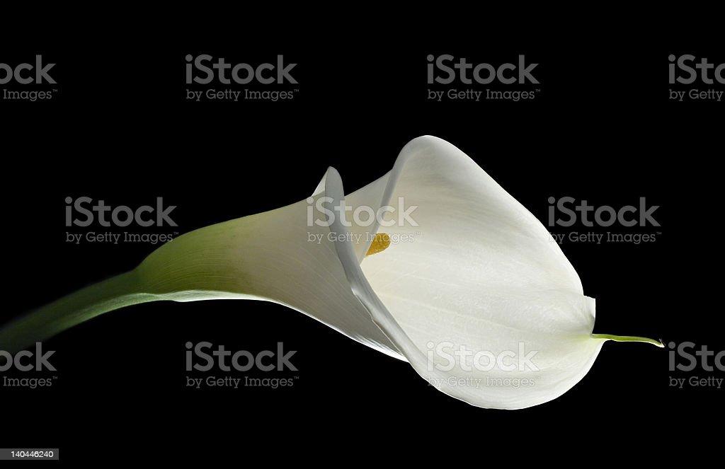Elegant white calla lily royalty-free stock photo