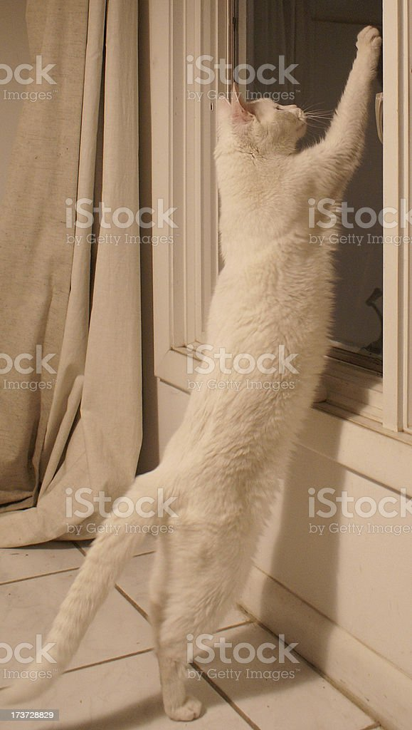 Elegant white cat stretching tall royalty-free stock photo