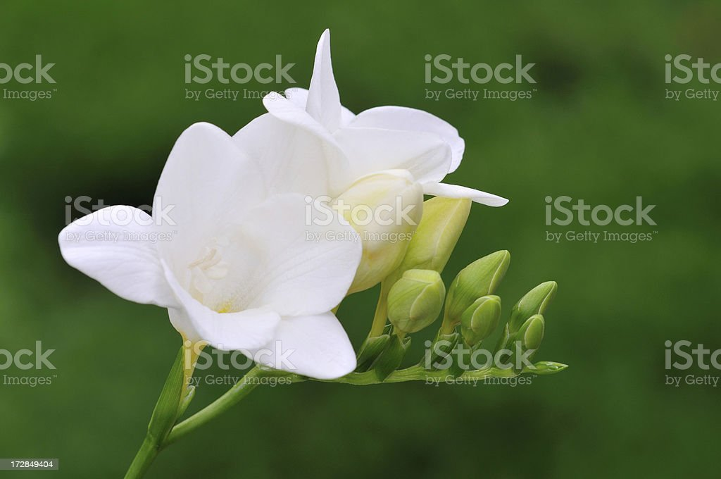 Elegant White Freesia圖像檔