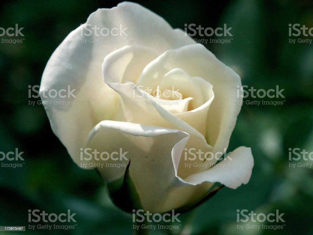 Elegant White Rose stock photo