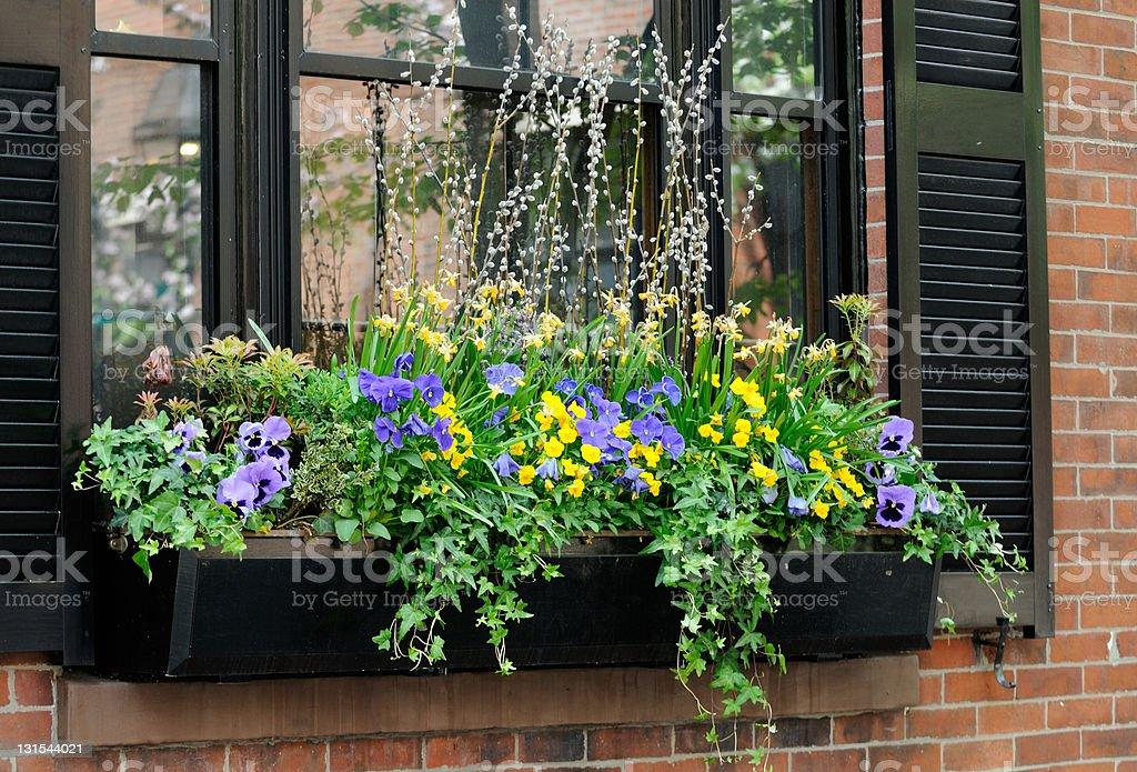 Elegant window box with purple pansies stock photo