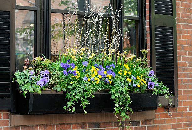 Elegant window box with purple pansies Elegant window box in Beacon Hill, Boston pansy stock pictures, royalty-free photos & images