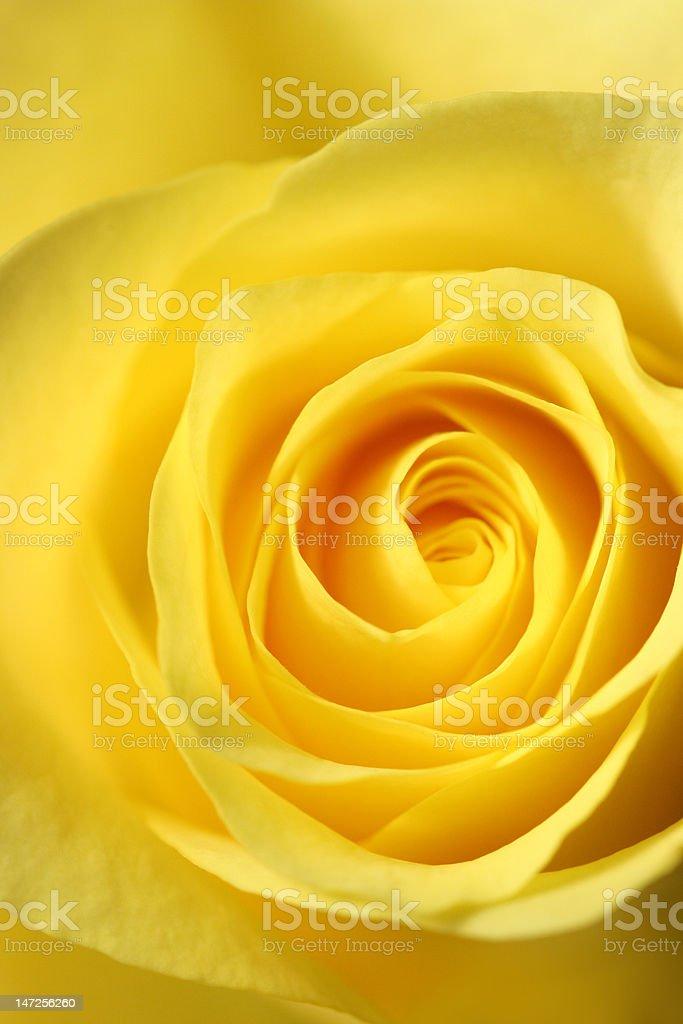 Elegant Yellow Rose stock photo