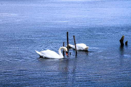 Beautiful white waterfowl that drinks and fishing in the water