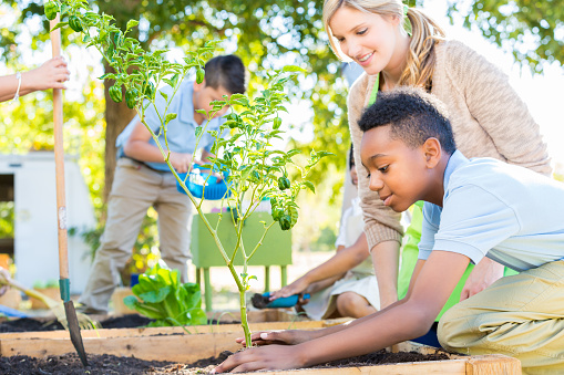 Elementary age African American little boy is planting a vegetable plant in school garden during outdoor science class. Mid adult Caucasian woman is teacher, assisting students while teaching them about plant life. Students are wearing private school uniforms.