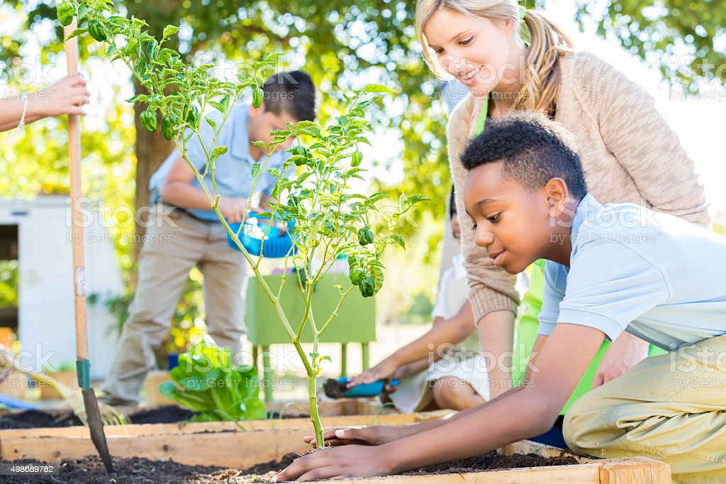 Elementary school boy planting vegetable plant in school garden stock photo