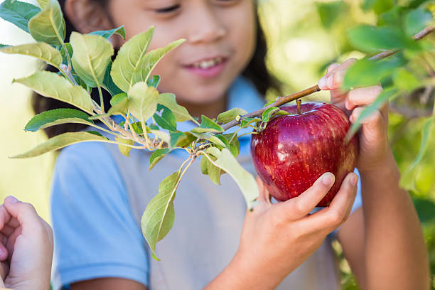 Elementary students picking red apples during field trip at orchard Elementary age Asian little girl is smiling while picking a large juicy red apple from tree branch in local apple orchard. Student is attending field trip at orchard with classmates. She is wearing a blue and khaki school uniform. red delicious apple stock pictures, royalty-free photos & images