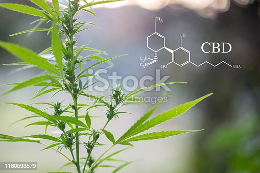 istock CBD  elements in Cannabis, Growing Marijuana, medical marijuana,  cannabinoids and health. 1160593579